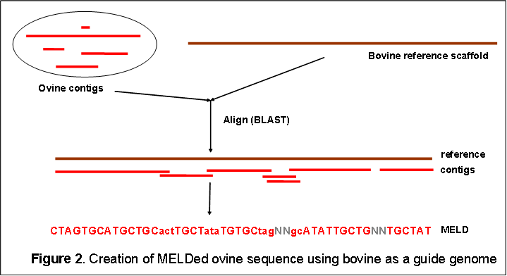 Method used for creating MELDed ovine sequence using bovine sequence as a template